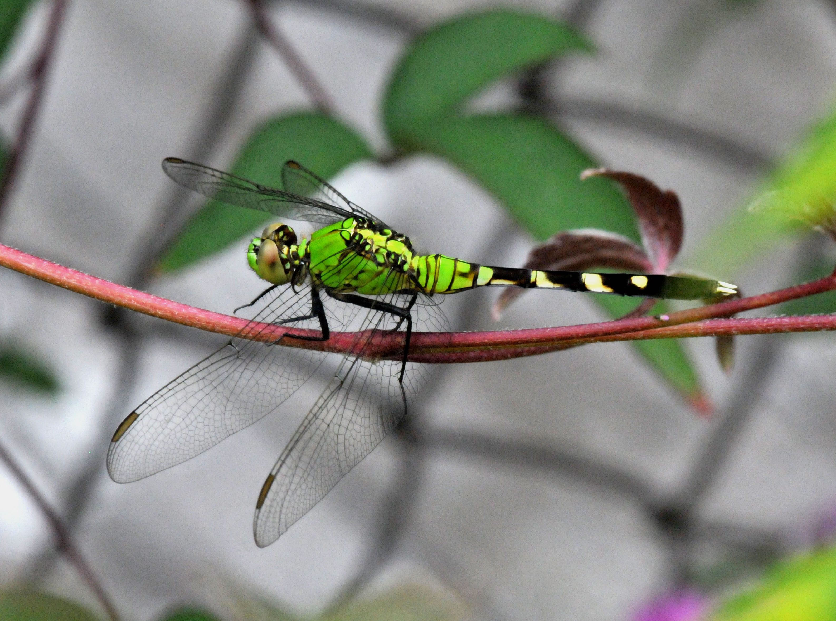 Green dragonfly pictures - photo#21