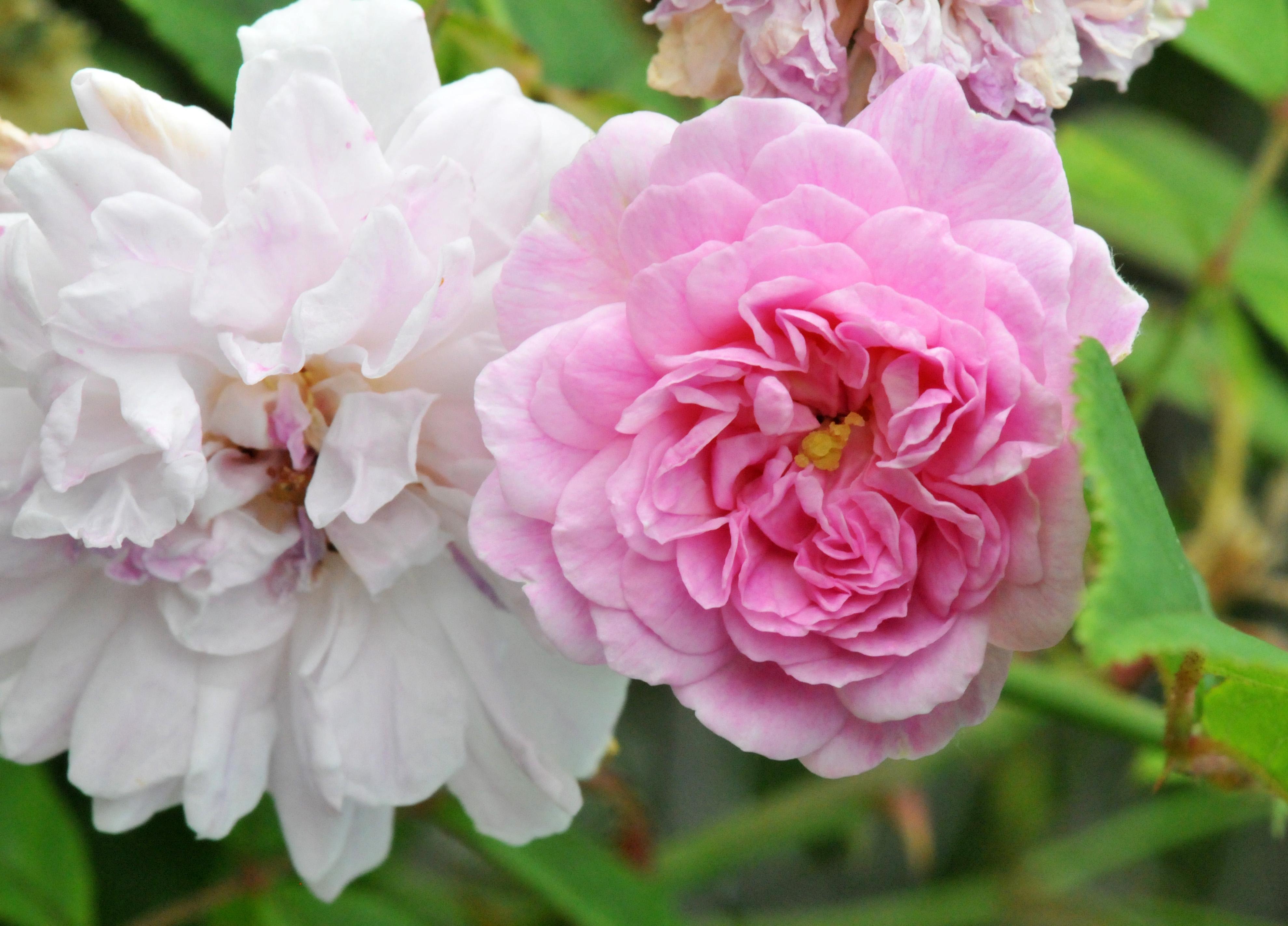 Rose: Himalayan Musk Rose
