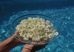 A full bowl of fresh picked jasmine