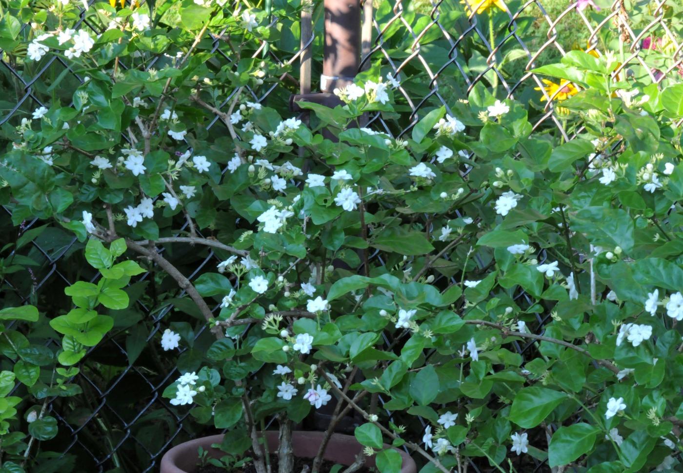 Maid of orleans jasmine petals and wings maid of orleans jasmine izmirmasajfo