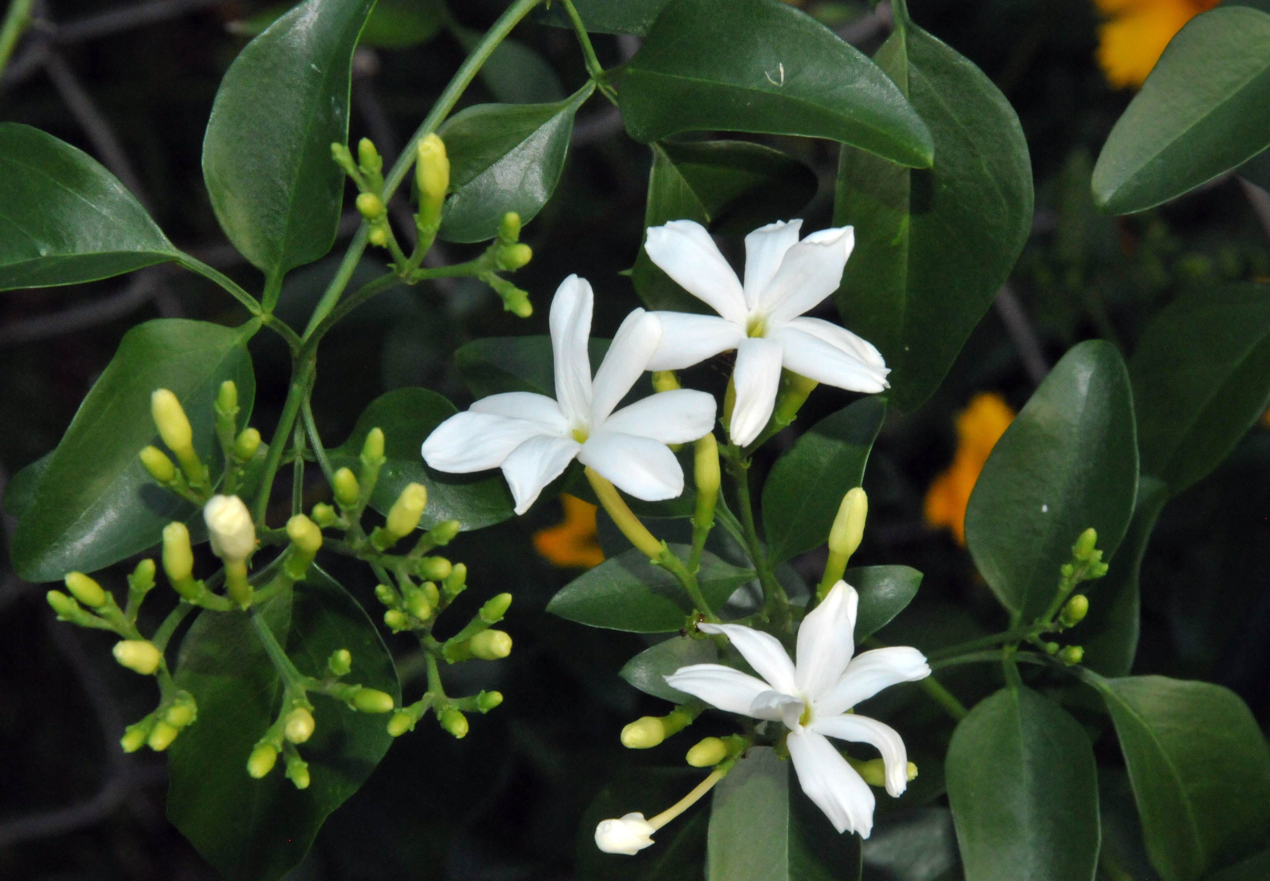 Tropical flowers petals and wings azores jasmine izmirmasajfo Choice Image