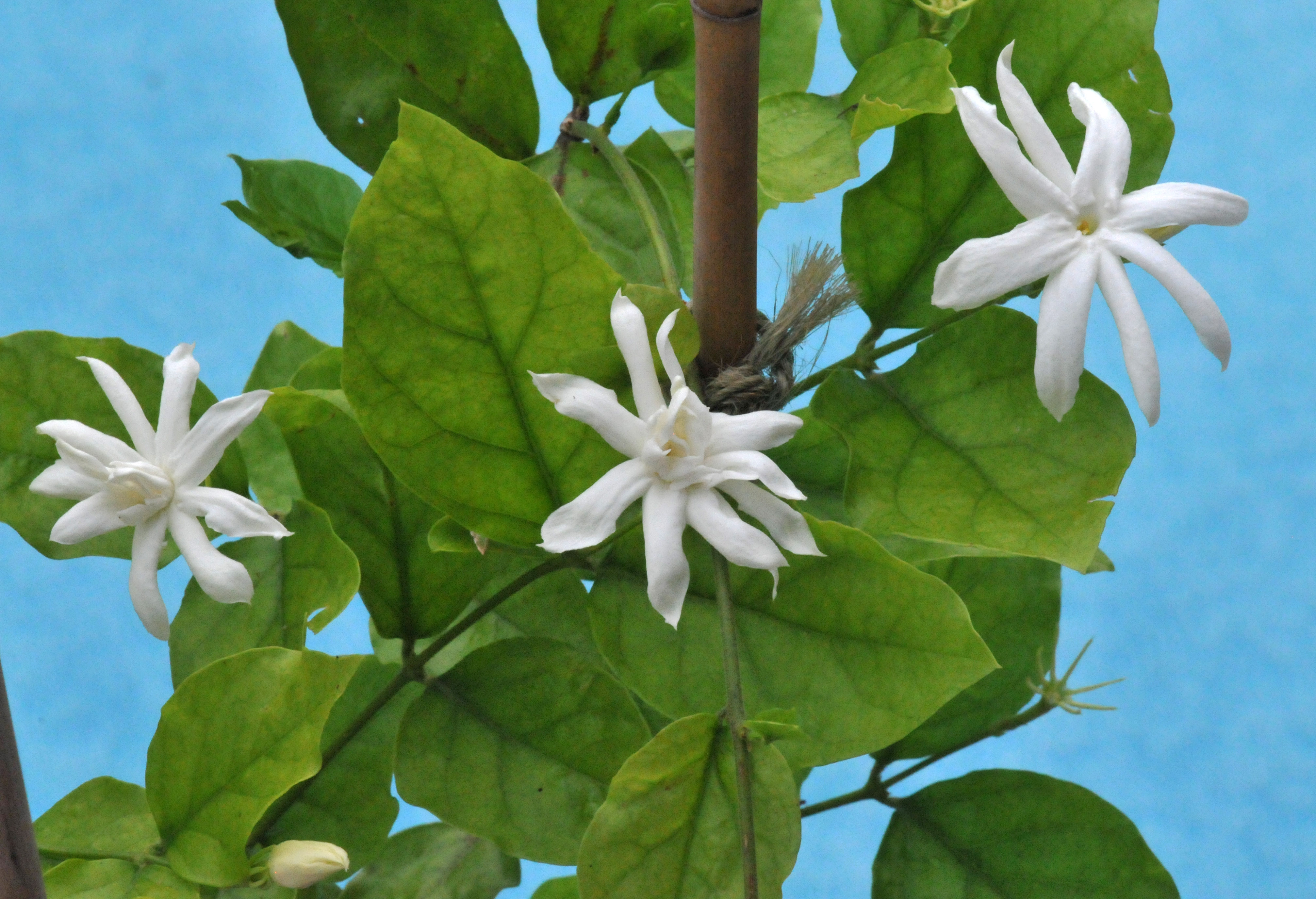 More jasmine petals and wings belle of india produces larger flowers izmirmasajfo