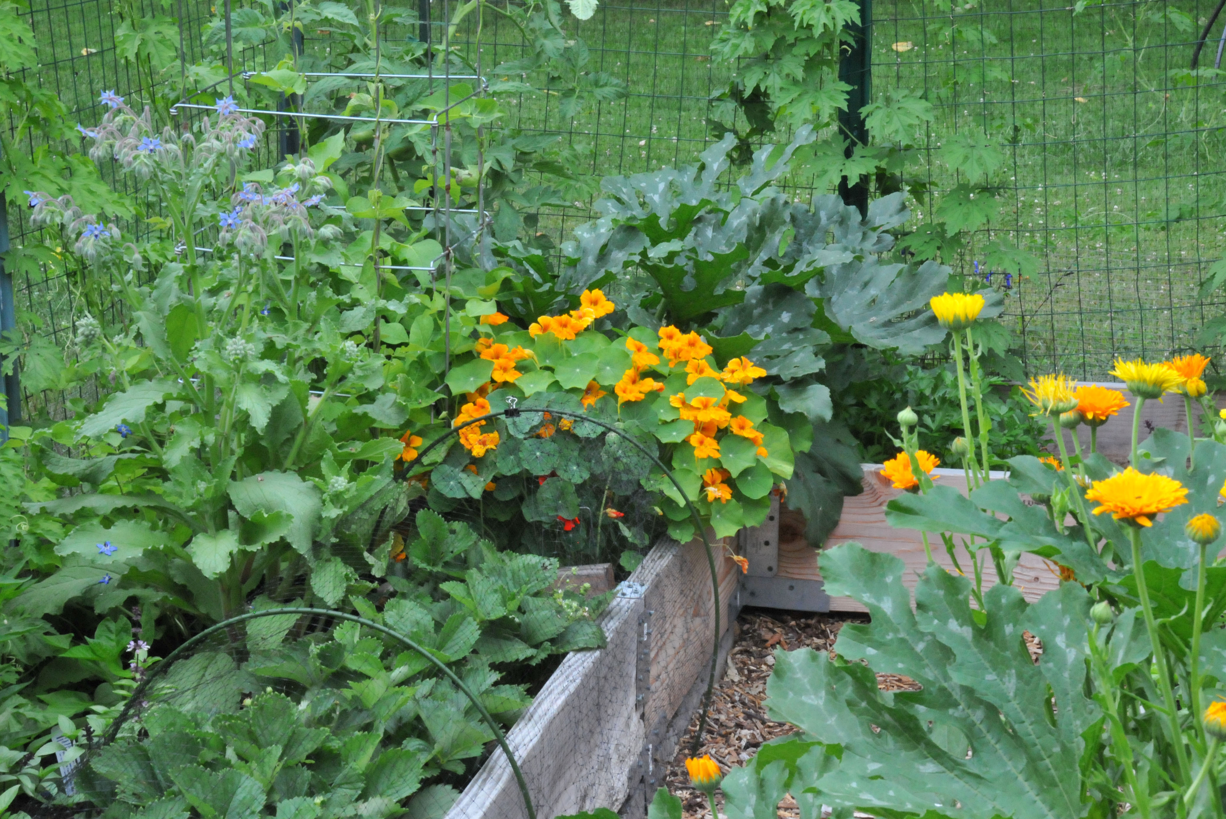 Nasturtium petals and wings for Summer vegetable garden