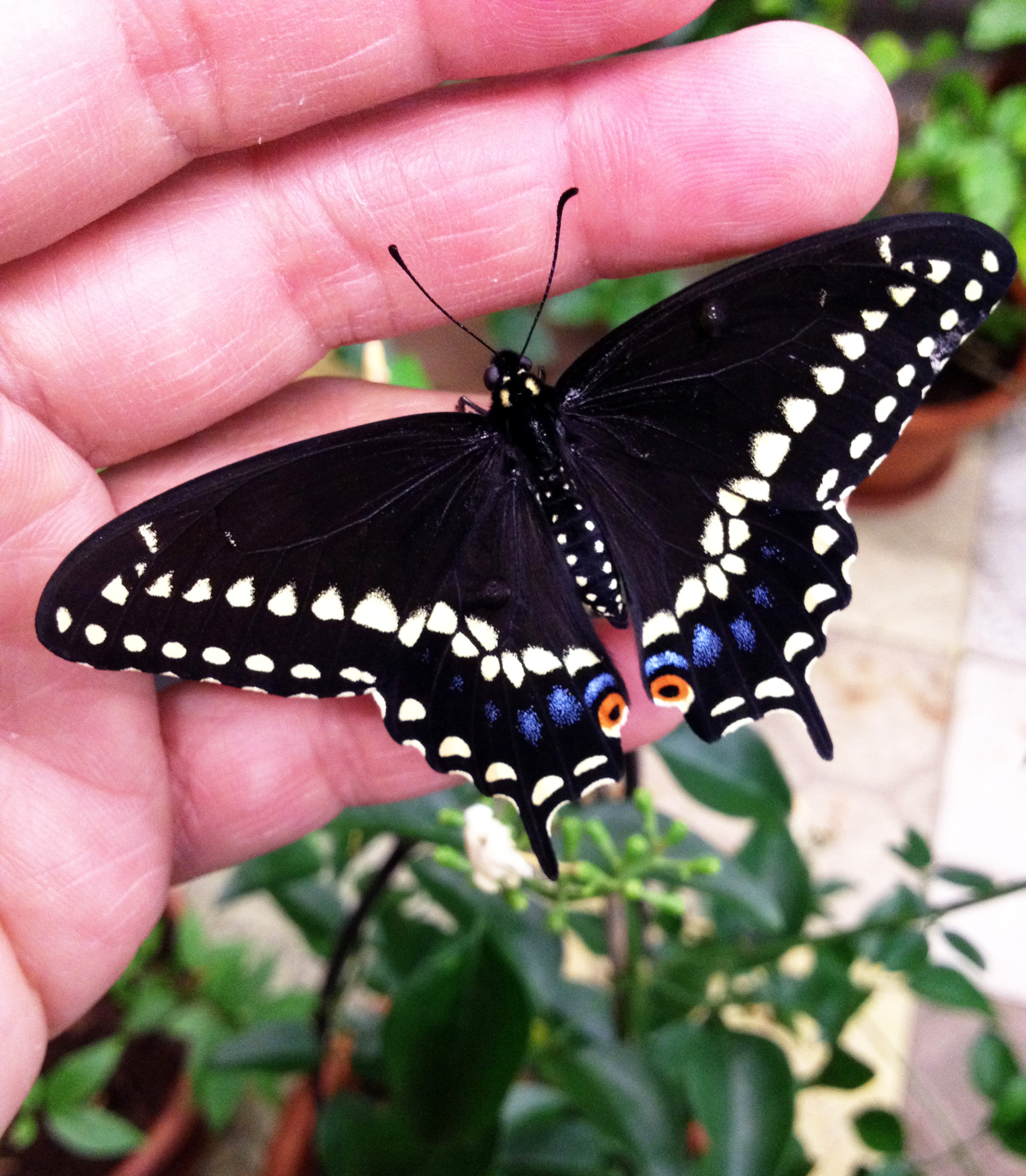 Purple spotted swallowtail - photo#19