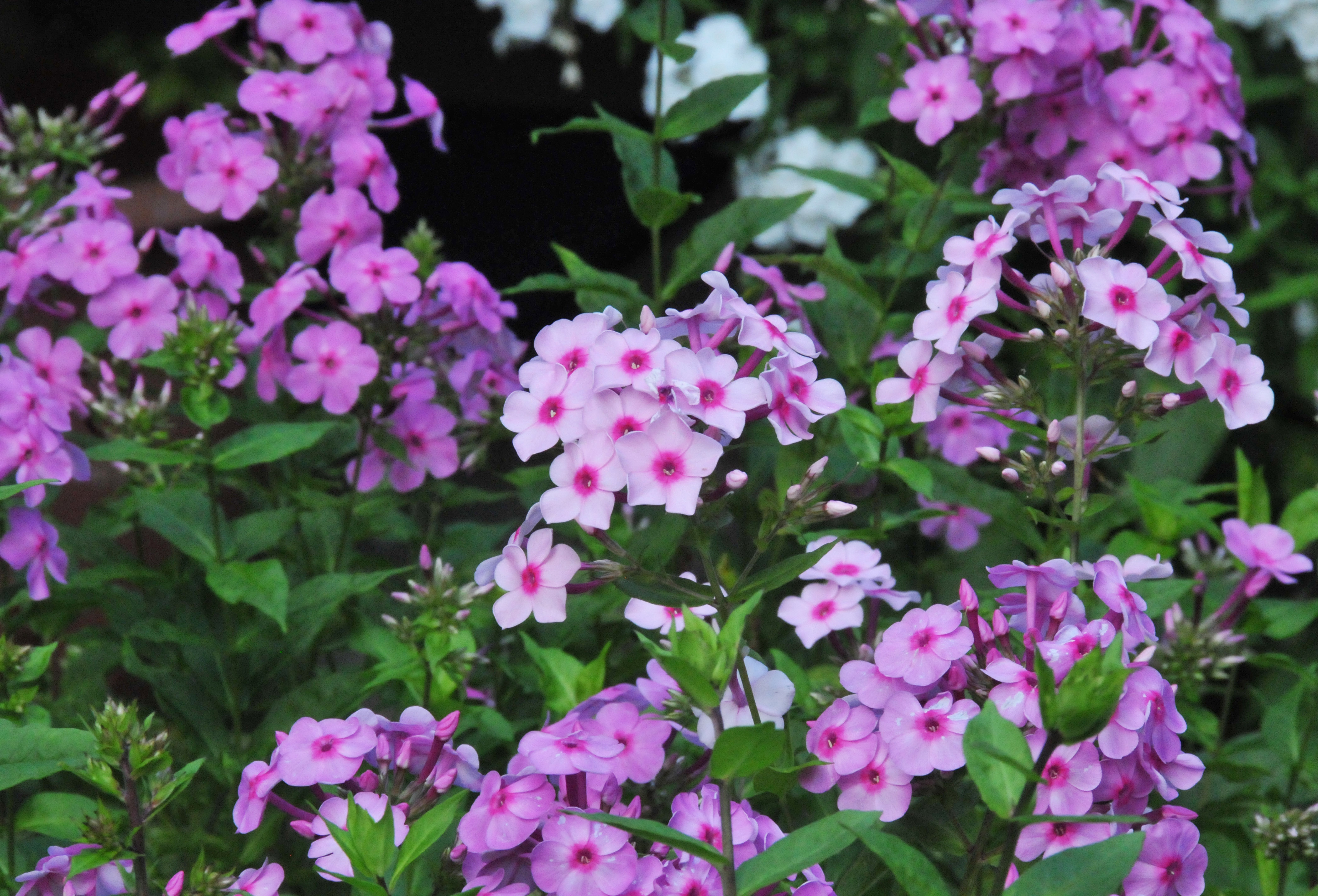 popstars the week plant tall mr michael geek perry of img garden phlox