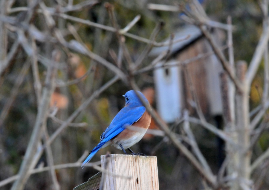 One of the Bluebird perching on the nest box.