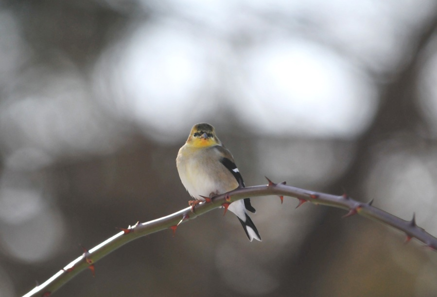 American Goldfinch in its winter coat.