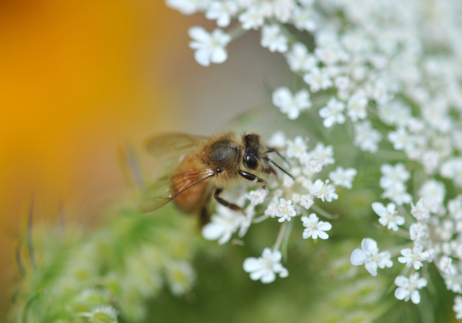 Bee on Queen Anne's Lace