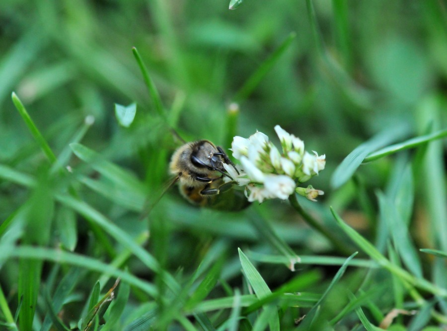Bee on White Clover