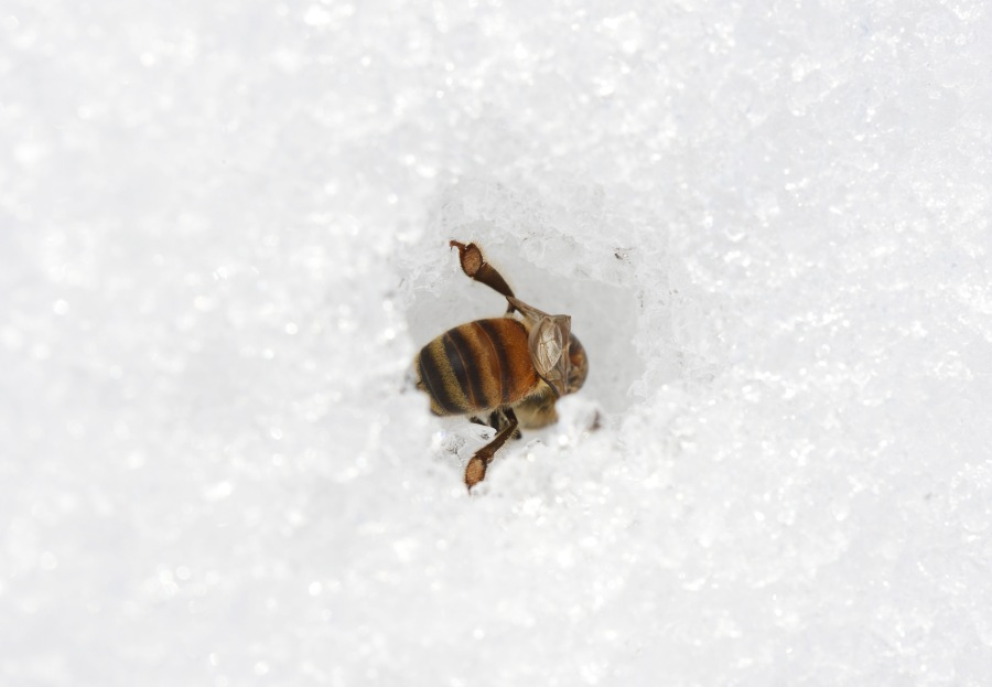 Bee on snow. Gone to 'Hive Heaven' as it were.