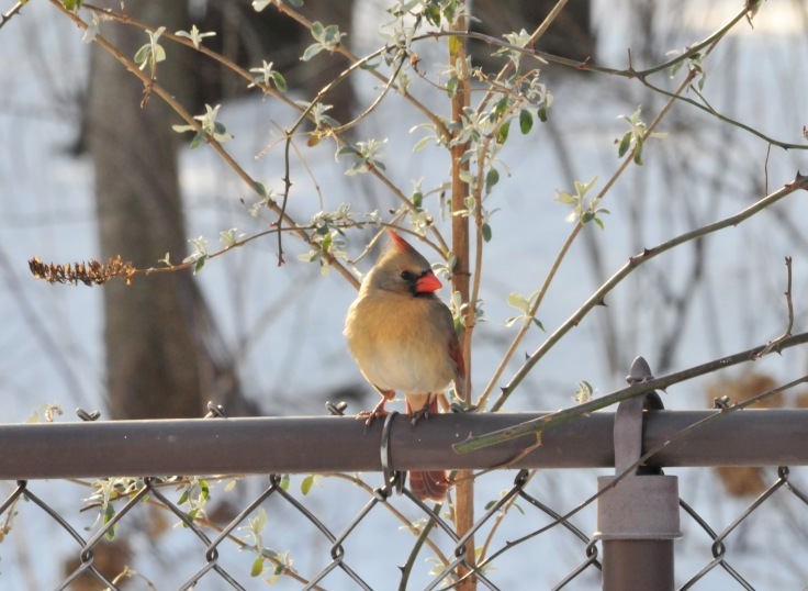 A female cardinal waits her turn