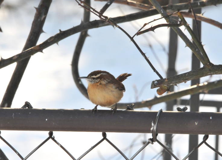 Carolina Wren waits its turn for the feeder.
