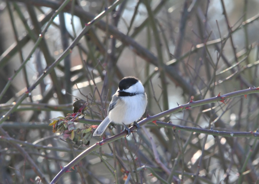 Chickadees will eat from your hand when you gain their trust.