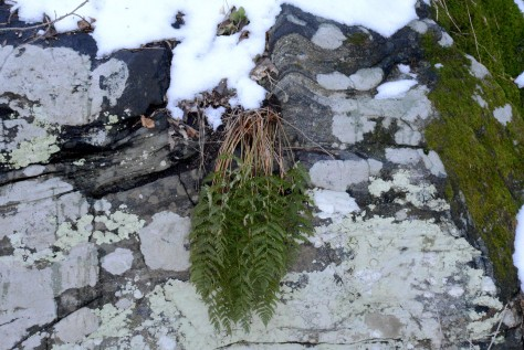 Fern on rock
