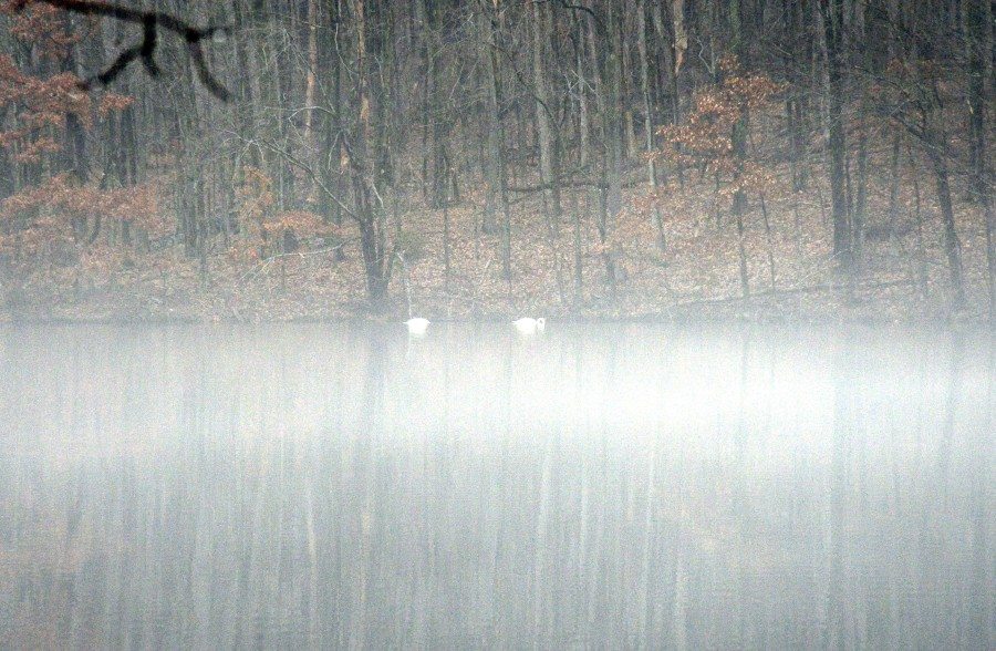 Swan amidst a sea of fog, a Zen moment