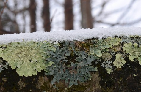Lichen on a Birch trunk