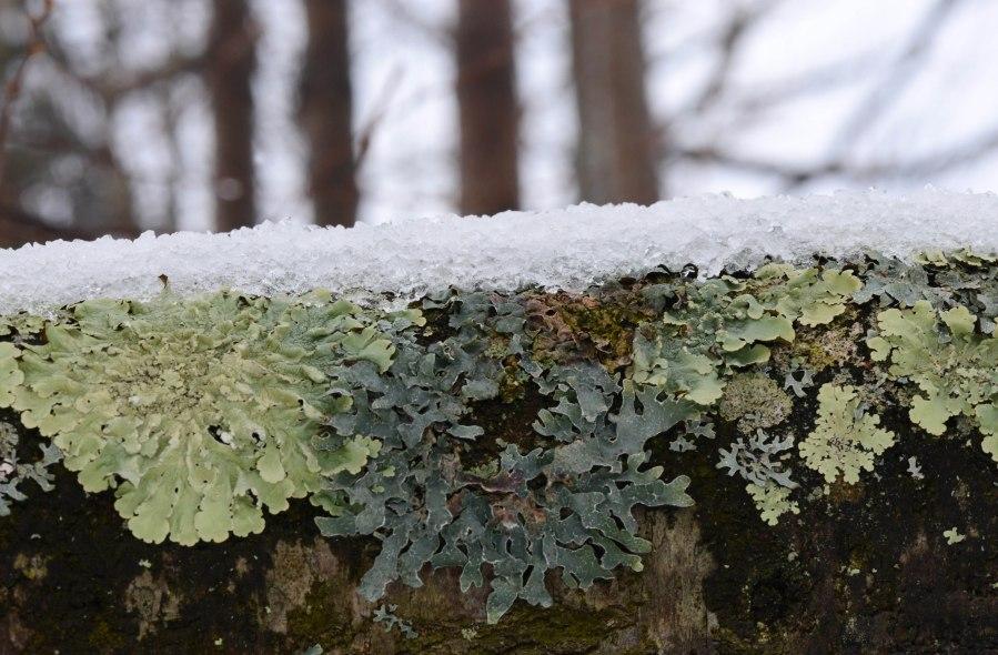 Lichen on a Birch trunk