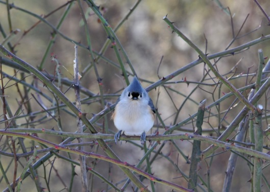 Tufted Titmouse, one of the more friendly and daring residents