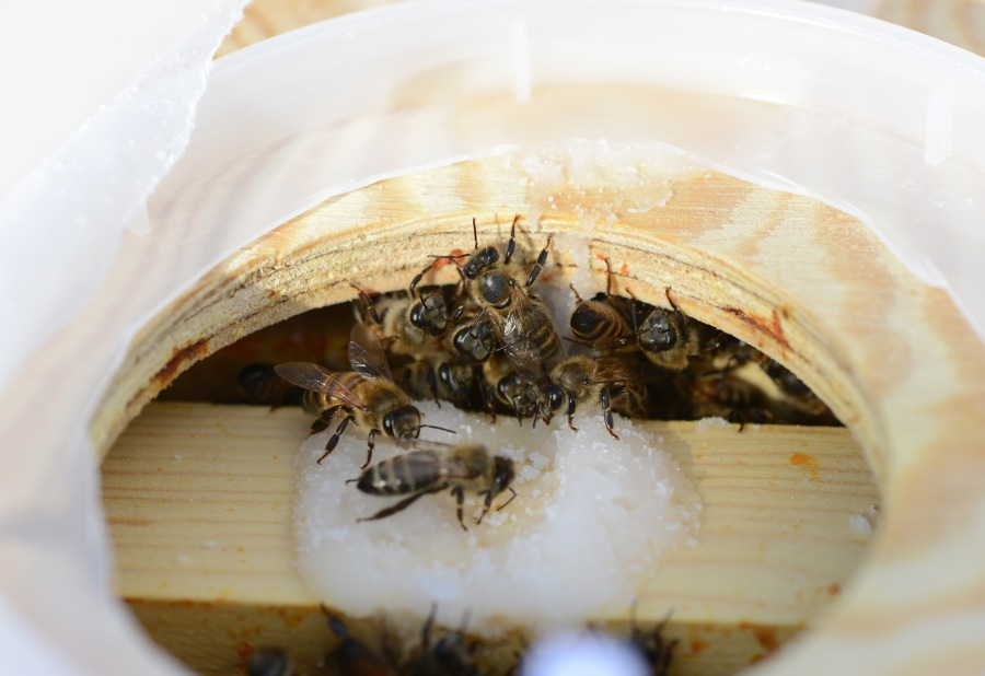 Bees coming up to eat fondant dripping from the inner cover