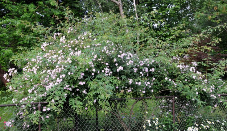 Himalayan musk in June, with a lot of honey scented flowers