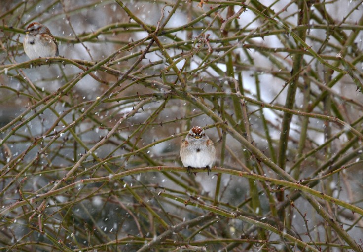 American Tree Sparrows (Spizella arborea) have been with us all winter.  They're probably packing up for a flight back to the Arctic.