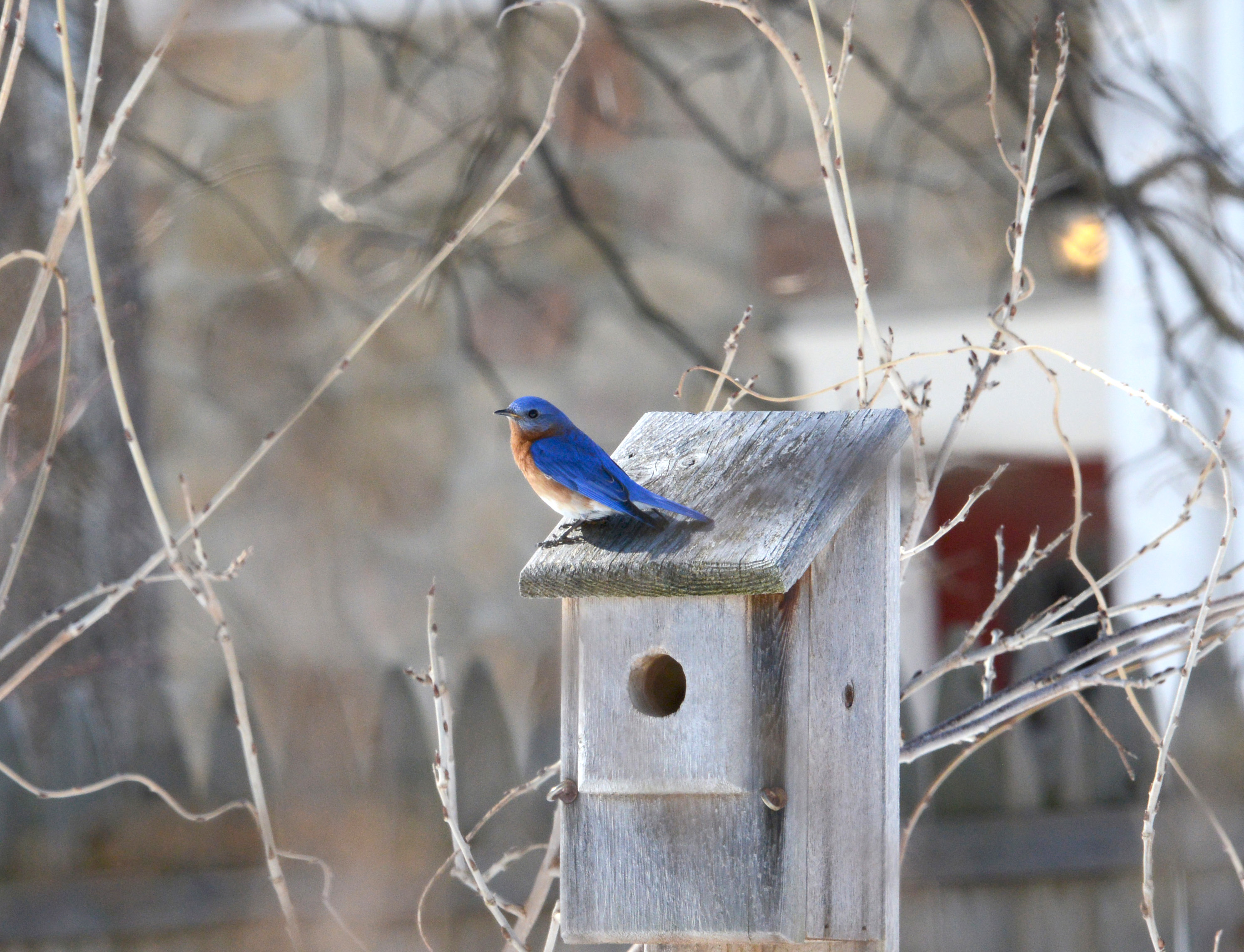A male Bluebird checking one of his two favorites.