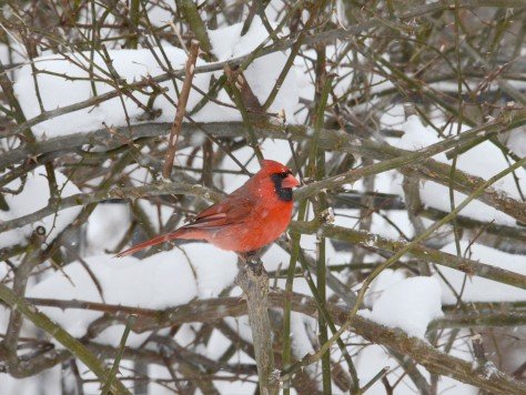 A male Northern Cardinal (Cardinalis cardinalis) also waiting in the rose bush.