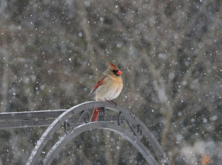 A female Northern Cardinal (Cardinalis cardinalis) keeps her eye on the feeders from atop a trellis.