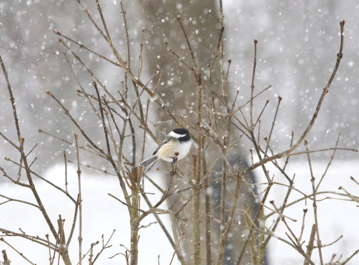 One Black-capped Chickadee (Poecile atricapillus) preferred to wait in the lilac bush rather than eat with the other Chickadees.