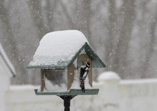 A female Downey Woodpecker checking a Bluebird feeder during the last snow storm.  The Downey and Carolina Wrens have learned how to feed in there.