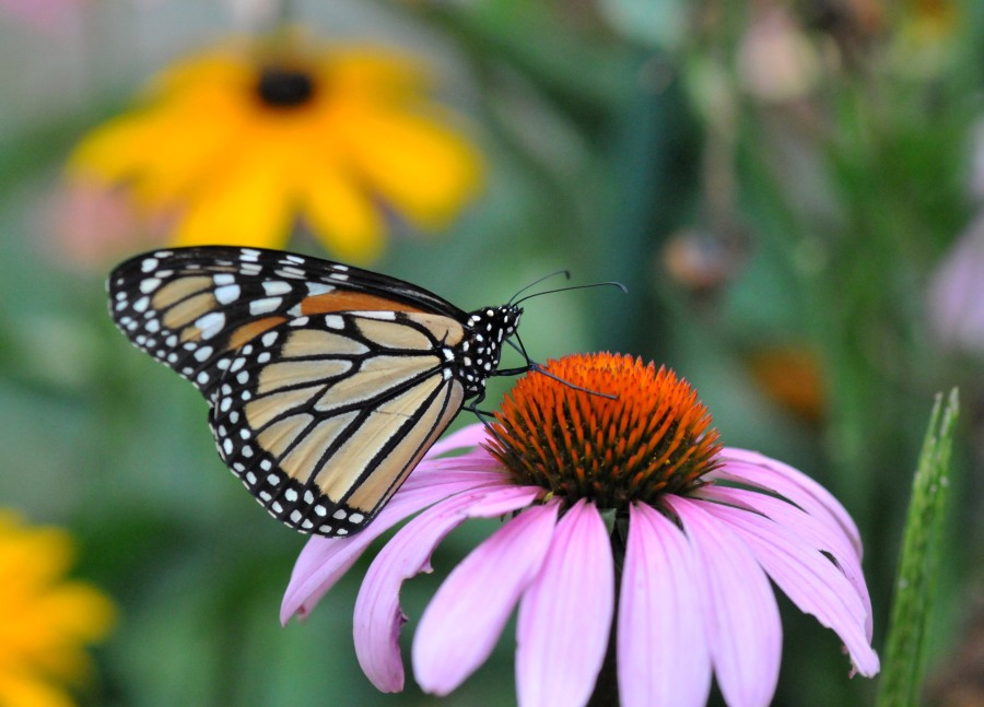Monarch on an Echinacea bloom