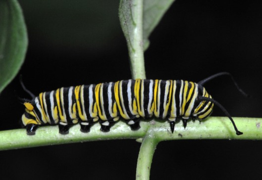 Monarch caterpillar on a stem of Milkweed we let grow in our garden