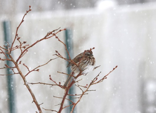 Song Sparrow (Melospiza melodia), the sparrow that can really sing, preferred to hang out on the Blueberry branches.