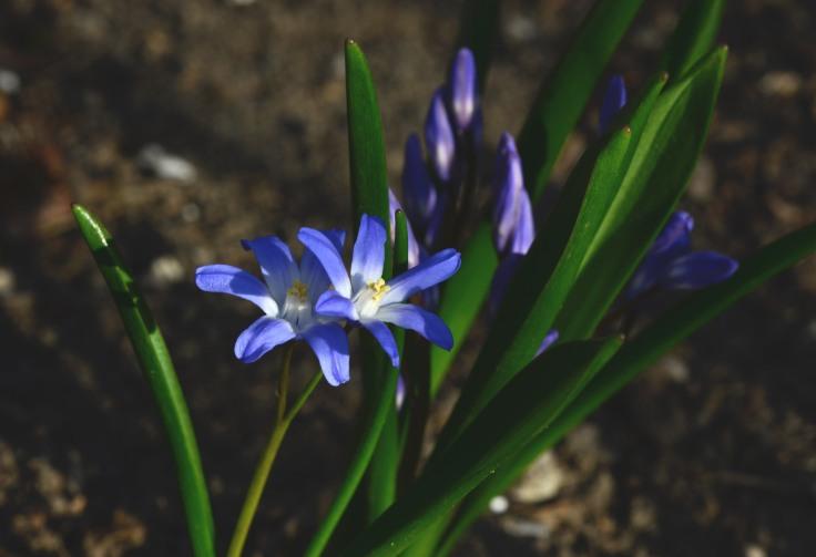 Scilla in blue and white