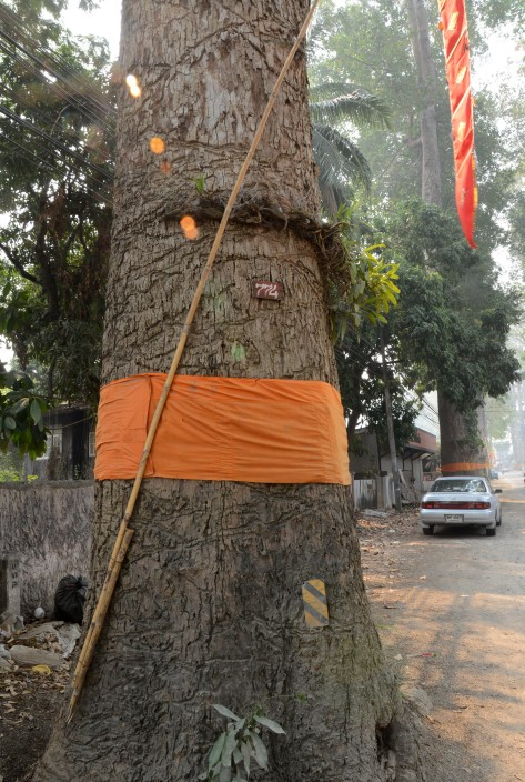 Aside from wrapping the tree with a saffron robe, people also grow yellow orchids around the trunk.