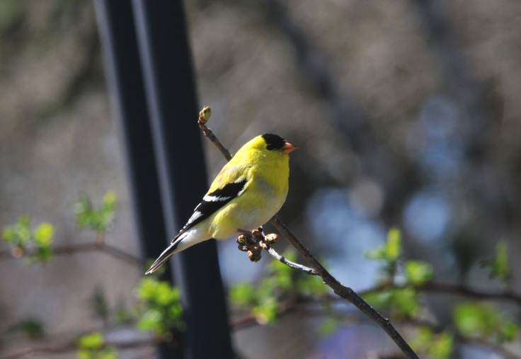 This male Gold finch still has some grey color left over from winter.
