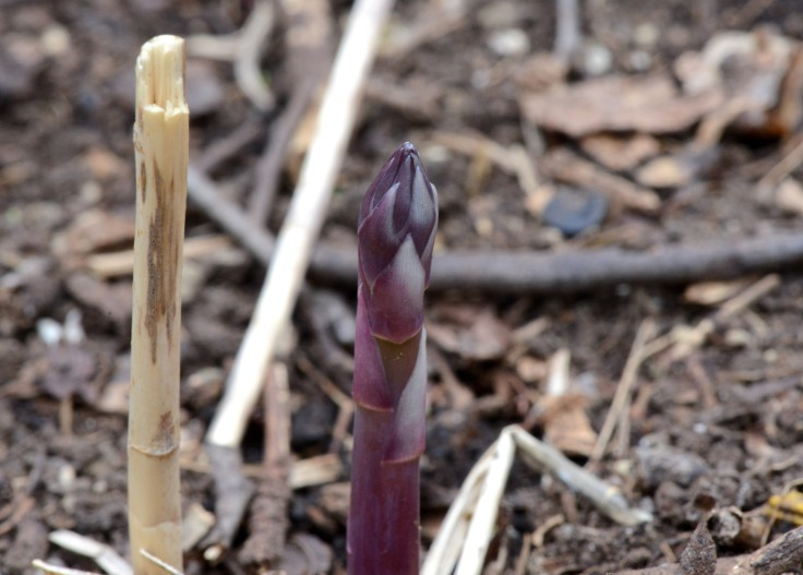 First fresh, sweet, asparagus of the season.