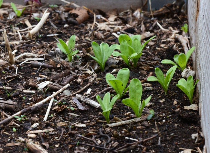 Most of these Calendula seedlings will be transplanted to the flower garden.