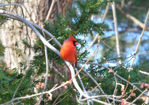 A male Cardinal perched but still keeping an eye on the feeder.