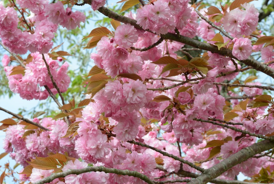 Cherry 'Kanzan' blossom with pink pompom like blooms