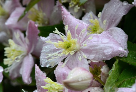 Clematis 'Montana' after the rain