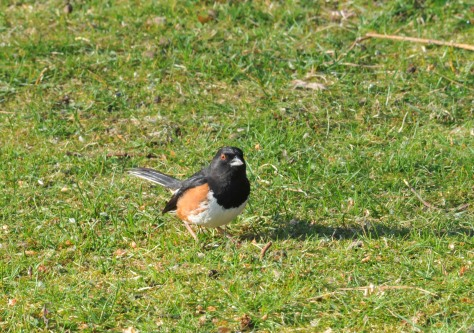 Eastern towhees have been visiting the ground below one of the feeder this year.