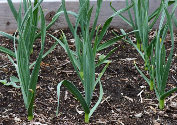 Put the garlic cloves in last October and they came up in March.
