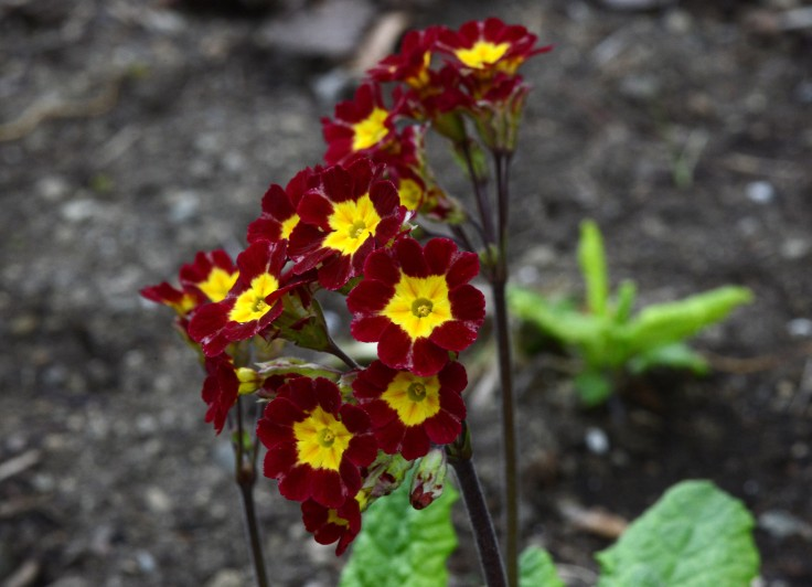 This burgundy one retains its dark color and has longer flower stems.