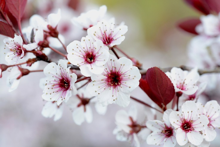 Aside from pretty flowers, Sand cherry also has a very strong honey scent.