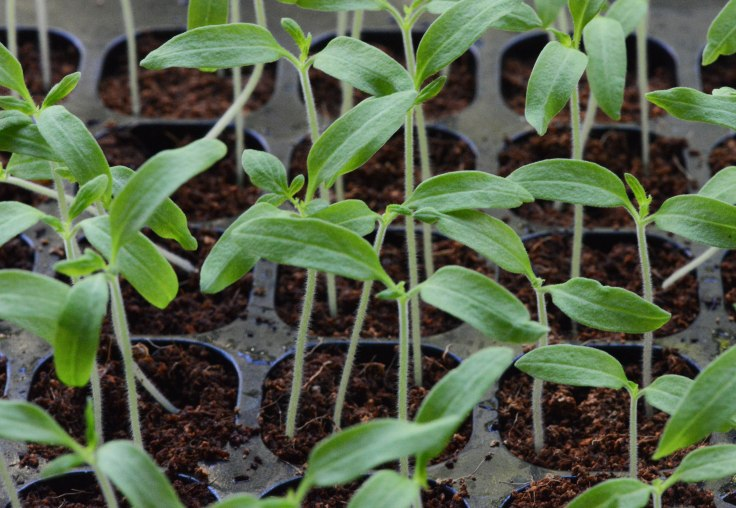 Tomato seedlings a week ago.  They are in their individual pots now.