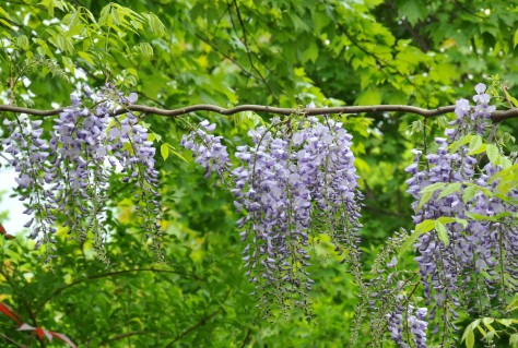We used a rope to hold it straight for a year.  It climbed up the rope to the Maple tree and produced a flowering string this year.