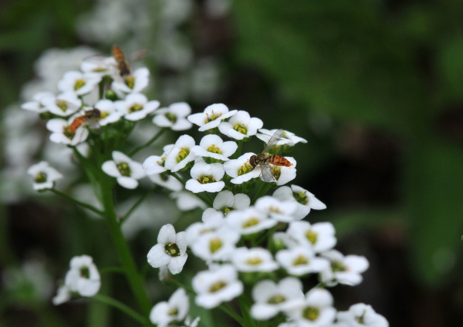 Multiple Hover flys on the Alyssum