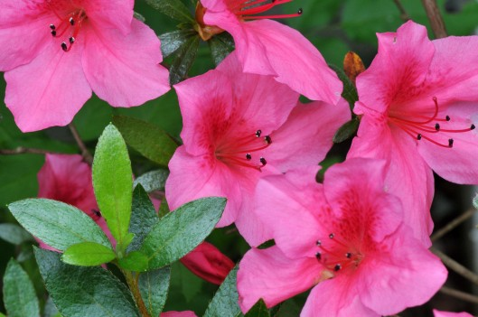 This pink Azalea still blooms after the rest of our Azaleas have gone
