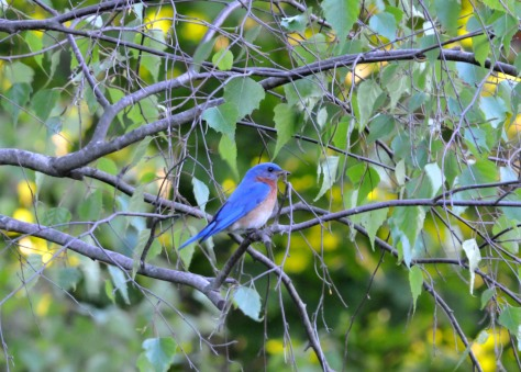 Male Bluebird with a worm waiting to feed his chicks.